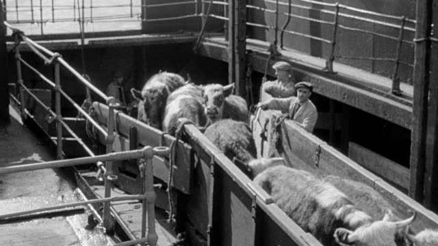 MONTAGE Herd of cattle being transferred to a holding area before boarding the train to the Dublin Market / United Kingdom