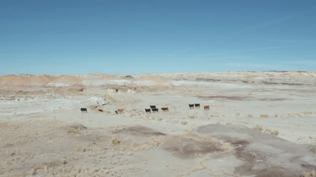 Herd of cattle, Bisti Badlands, New Mexico, United States