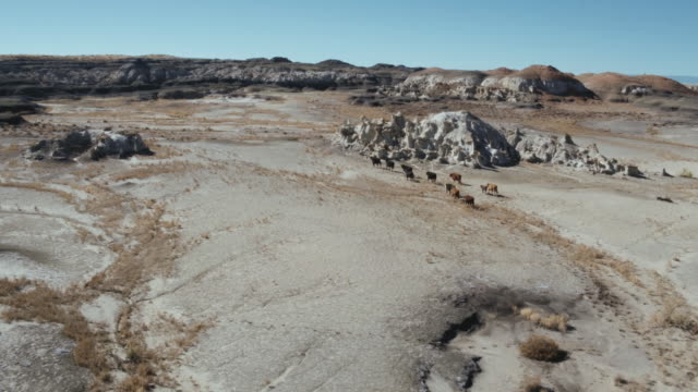 herd of cattle, bisti badlands, new mexico, united states - cattle stock videos & royalty-free footage