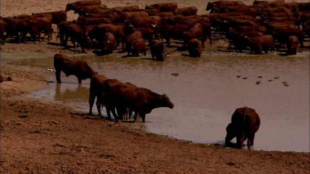 ms shaky herd of cattle drink from waterhole, anna creek, south australia, australia - 水場点の映像素材/bロール