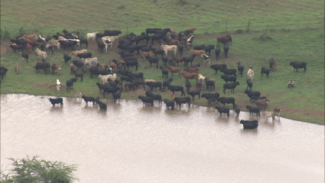 a herd of cattle gathers at a watering hole. - 水場点の映像素材/bロール