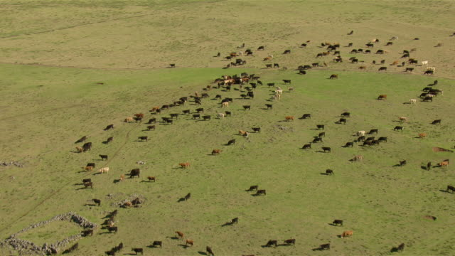 A herd of cattle graze on pastureland in northwest Big Island, Hawaii.