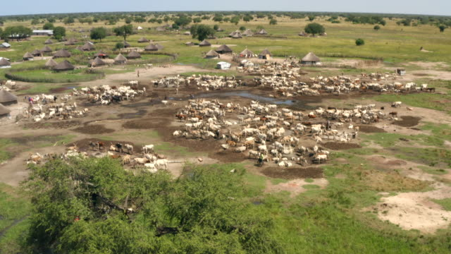 herd of cattle in dinka cattle camp during wet season / sudd swamps, south sudan, africa - 遊牧民族点の映像素材/bロール