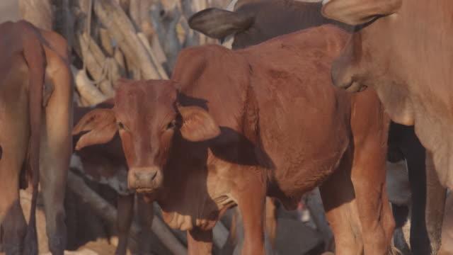 herd of cattle in the village / africa - pflanzenfressend stock-videos und b-roll-filmmaterial