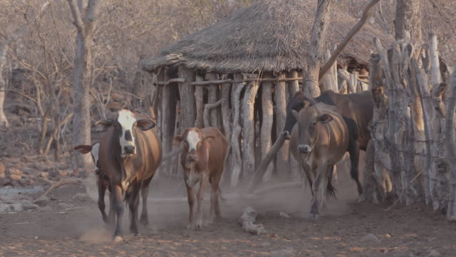 herd of cattle in the village / africa - enclosure stock videos & royalty-free footage