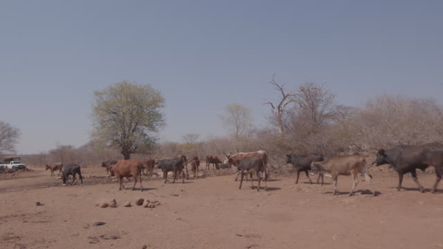 herd of cattle in the village / africa - herding stock-videos und b-roll-filmmaterial