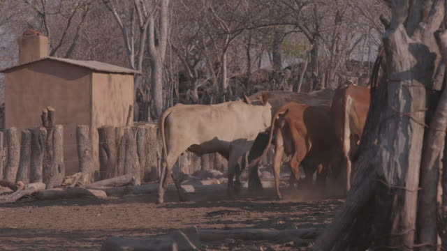 vídeos de stock e filmes b-roll de herd of cattle in the village / africa - pastorear