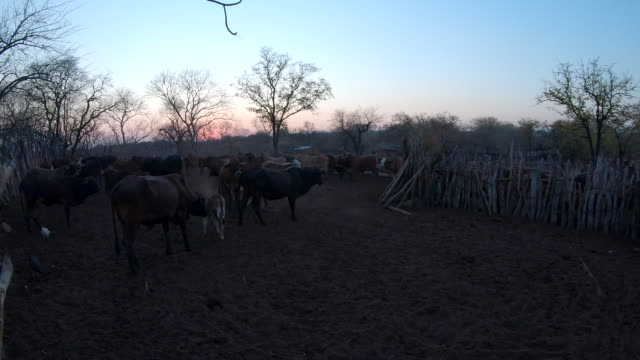 herd of cattle in the village in the evening / africa - enclosure stock videos & royalty-free footage