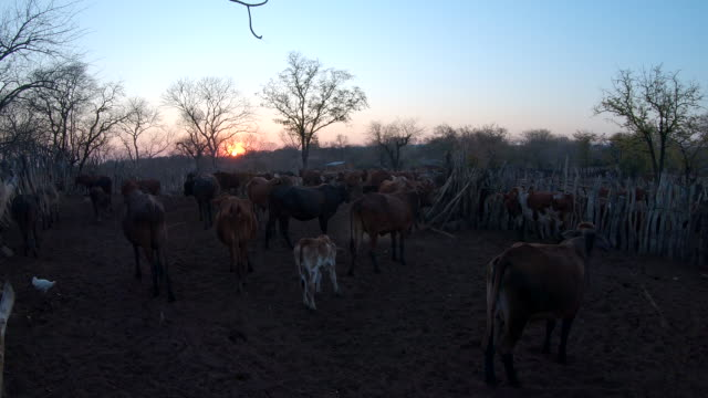 herd of cattle in the village in the evening / africa - herbivorous stock videos & royalty-free footage