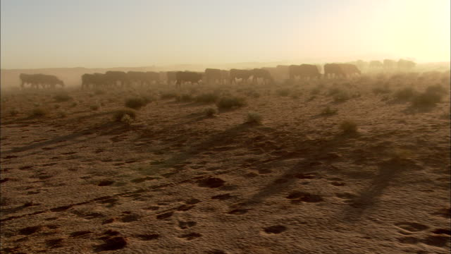 a herd of cattle kicks up dust as they graze near anna creek, australia. - environment stock videos & royalty-free footage