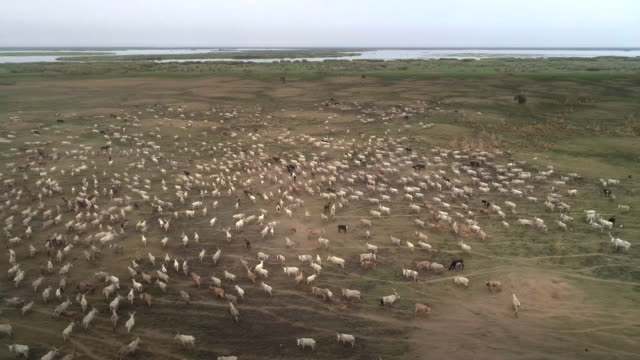 herd of cattle migrating to find meadow / sudd swamps, south sudan, africa - plain stock videos & royalty-free footage