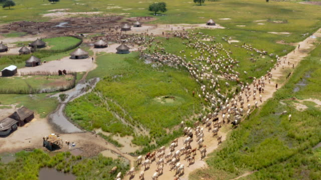 herd of cattle moving to grassland to graze / sudd swamps, south sudan, africa - 遊牧民族点の映像素材/bロール
