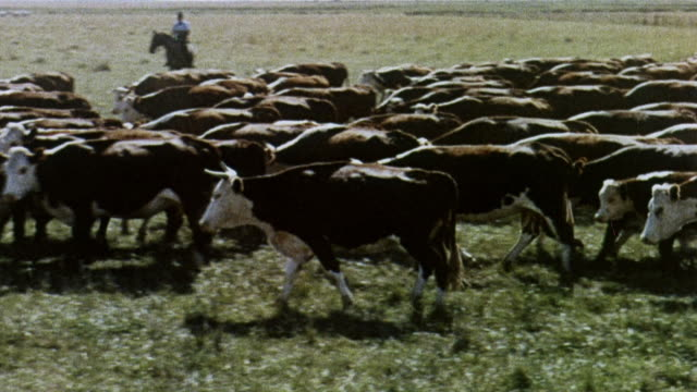 1965 montage a herd of cattle moving together past cowboys on horseback and skeleton of big horn sheep lying in arid countryside / united kingdom - recreational horse riding stock videos & royalty-free footage
