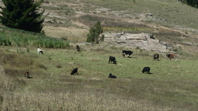vidéos et rushes de herd of cattle on paddock / macha, bolivia - plaque de montage fixe