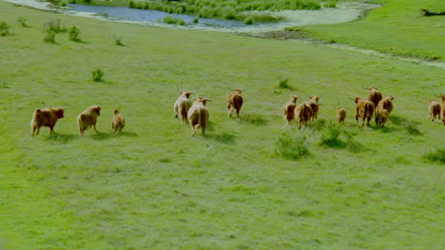 AERIAL herd of cattle running along green field into woods / Taero Island, Mon, Denmark