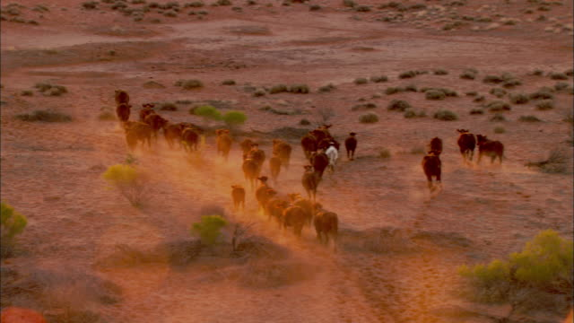 AERIAL Herd of cattle running on barren land, Anna Creek Station, South Australia, Australia