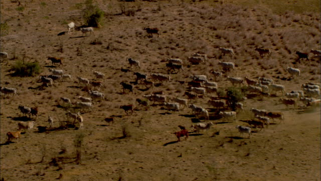aerial herd of cattle running through desert landscape in australian outback, darwin, northern territory, australia - cattle stock videos & royalty-free footage