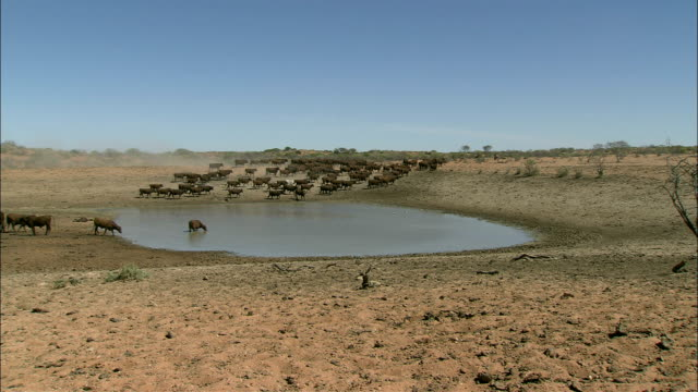 a herd of cattle stops at a watering hole. - bestiame video stock e b–roll