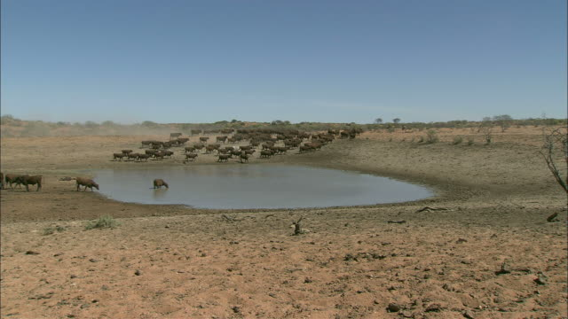 a herd of cattle stops at a watering hole. - livestock stock videos & royalty-free footage