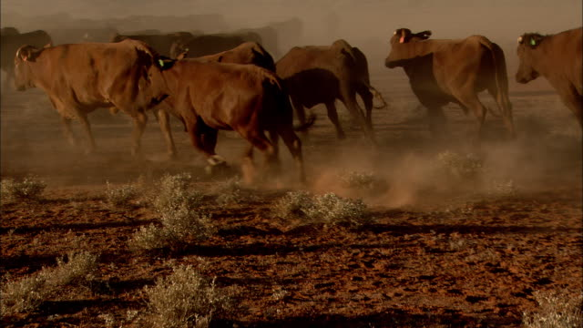 vidéos et rushes de a herd of cattle suddenly turns and gallops across a dusty plain. - bétail