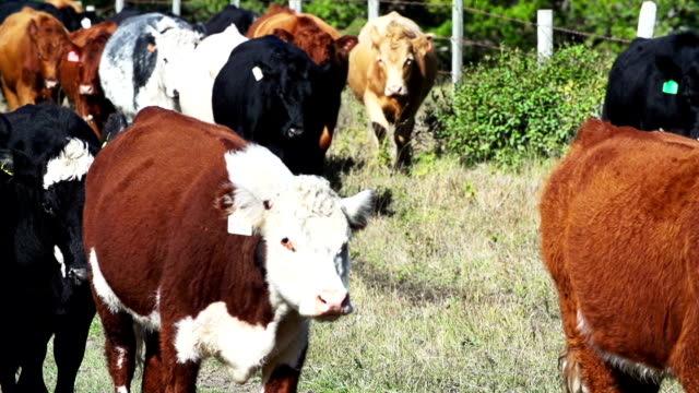 herd of cattle walking in slow motion - cattle drive stock videos & royalty-free footage