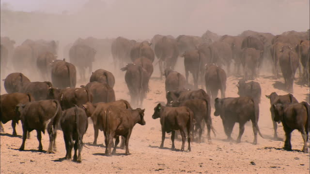 vidéos et rushes de ws pan ha herd of cattle walking through desert landscape, anna creek, south australia, australia - bétail
