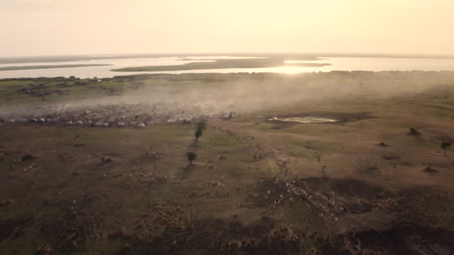 vídeos de stock, filmes e b-roll de herd of cattle walking to the dinka cattle camp / sudd swamps, south sudan, africa - pasture