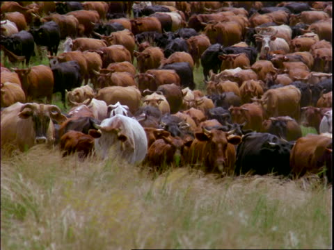 herd of cattle walking towards camera in grass / mato grosso, brazil - bovino video stock e b–roll
