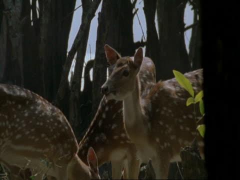 vídeos de stock, filmes e b-roll de ms herd of chital deer (axis axis) grazing in misty mangrove swamp, india - manada