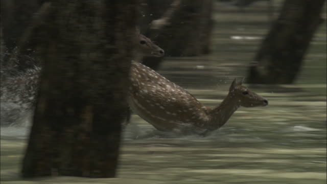 a herd of chital deer leaps through a river. available in hd. - bangladesh stock videos and b-roll footage