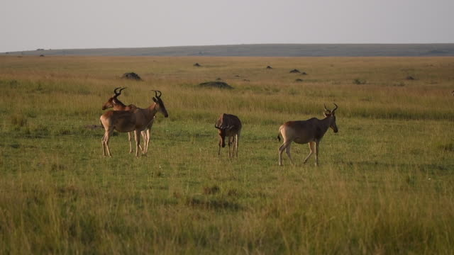 a herd of cokes hartebeest grazing on the grasslands of masai mara national reserve during a wildlife safari - herbivorous stock videos & royalty-free footage