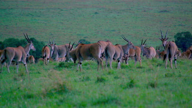 herd of common eland at dusk maasai mara  kenya  africa - 哺乳類点の映像素材/bロール