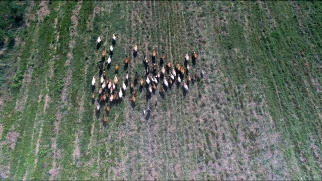 Herde der Kühe Luftbild
