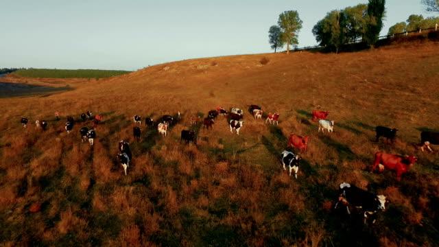 Herde der Kühe auf der Weide in der Nähe von trockenen Flussbett