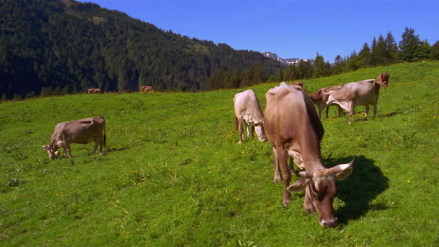 a herd of cows graze in a green field. - pasture stock-videos und b-roll-filmmaterial