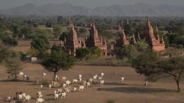 ws herd of cows grazing by bagan temples / bagan, mandalay region, myanmar - bagan stock videos & royalty-free footage