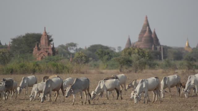 herd of cows grazing by bagan temples, burma - bagan stock videos & royalty-free footage