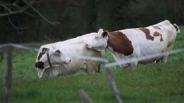 a herd of cows grazing in a field on march 30 2020 in chambery france - herbivorous stock videos & royalty-free footage