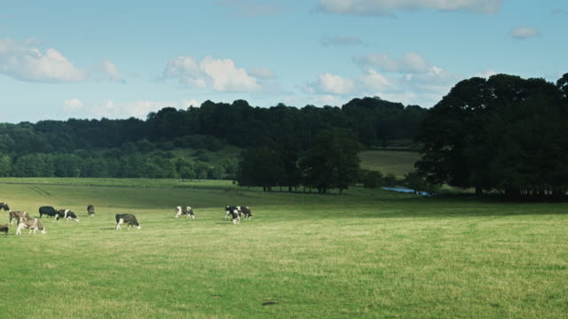 Herd of Cows Grazing in Field by River