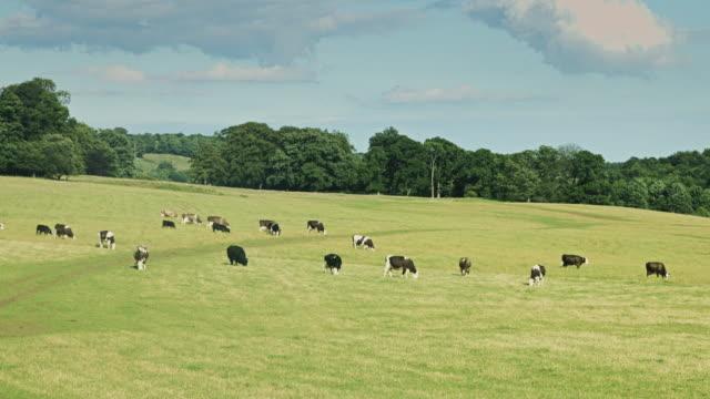 Herd of Cows Grazing in Field