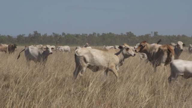 vídeos de stock, filmes e b-roll de herd of cows grazing in paddock  - plano geral tipo de composição de filme