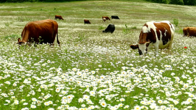herd of cows is grazed in a spring field - spotted stock videos & royalty-free footage