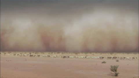 herd of cows moving through a sand storm in a desert in mali - dammstorm storm bildbanksvideor och videomaterial från bakom kulisserna