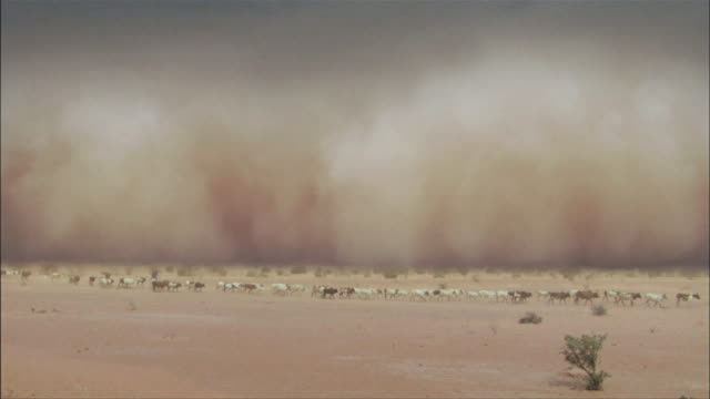 vídeos y material grabado en eventos de stock de herd of cows moving through a sand storm in a desert in mali - vendaval de polvo