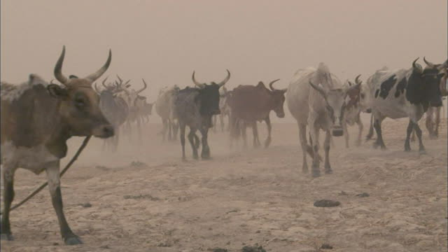 herd of cows moving through a sand storm in a desert in mali - wild cattle stock videos & royalty-free footage
