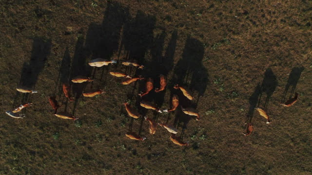 herd of cows on pasture from directly above - brown stock videos & royalty-free footage