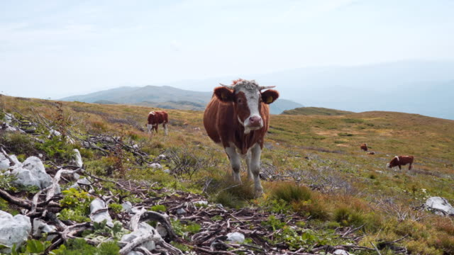 a herd of cows taken to a mountain meadow to graze - grazing stock videos & royalty-free footage