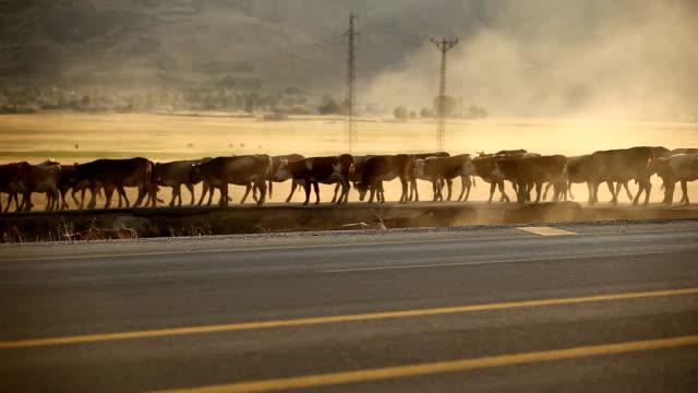 stockvideo's en b-roll-footage met herd of cows - op hol slaan