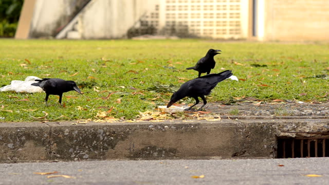 herd of crow eat - crow stock videos & royalty-free footage