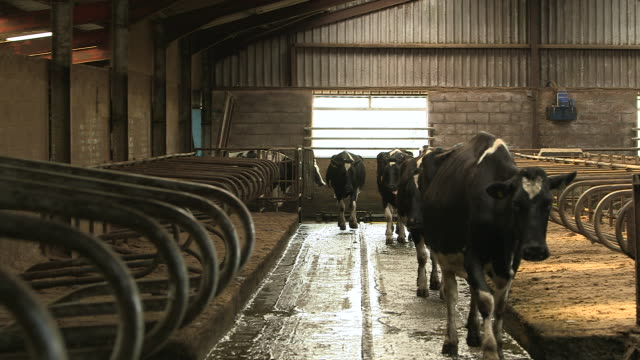 herd of dairy cows enters barn, cumbria, uk - cattle stock videos & royalty-free footage